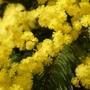 Saint-Philibert (56) - Mimosa battu par le vent