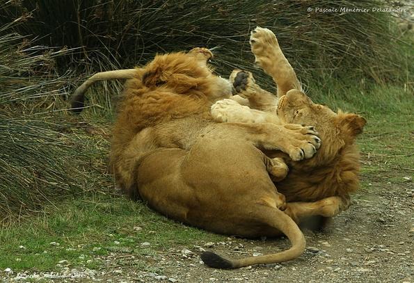 Jeux entre deux jeunes Lions ♂
