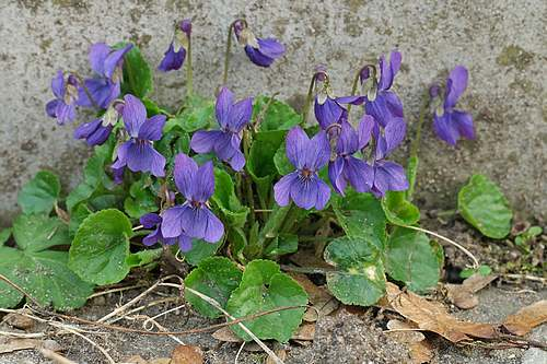 Vertus médicinales des plantes sauvages : Violette