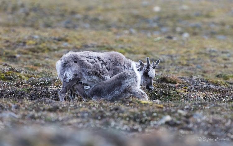 Les bébés rennes... suite