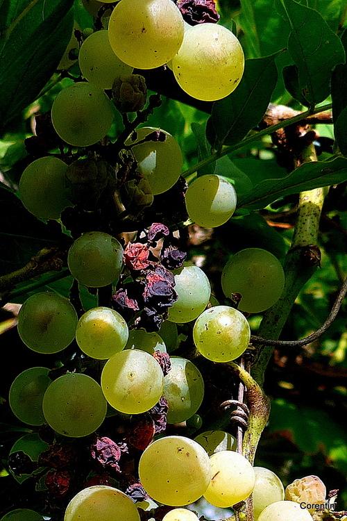 Des raisins ...