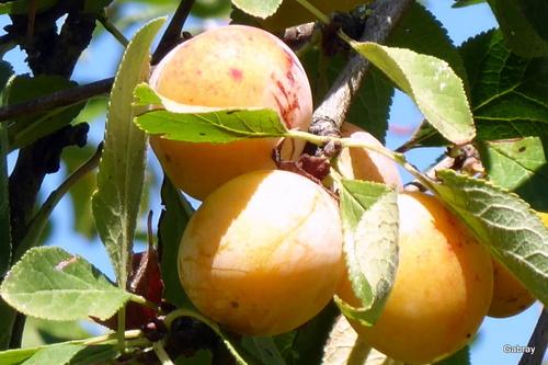 Des prunes: les mirabelles!