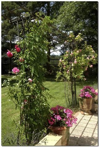 Les roses du mois de juin