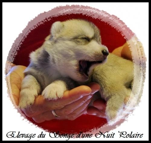 Chiot Husky Femelle 3 (12j)