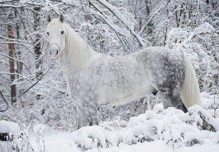 Fonds couleurs d'hiver,neige,hiver,froid, cheval blanc,blanc,