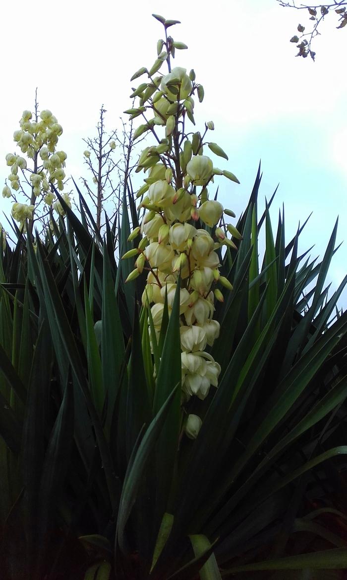 belle plante