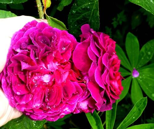 la reine des fleurs au jardin de l'abbaye saison 2017