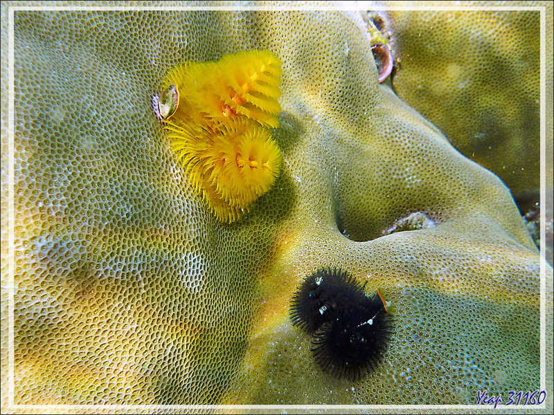 Spirobranche arbre de Noël, Ver arbre de Noël, Christmas tree worm (Spirobranchus giganteus) - Moofushi - Atoll d'Ari - Maldives