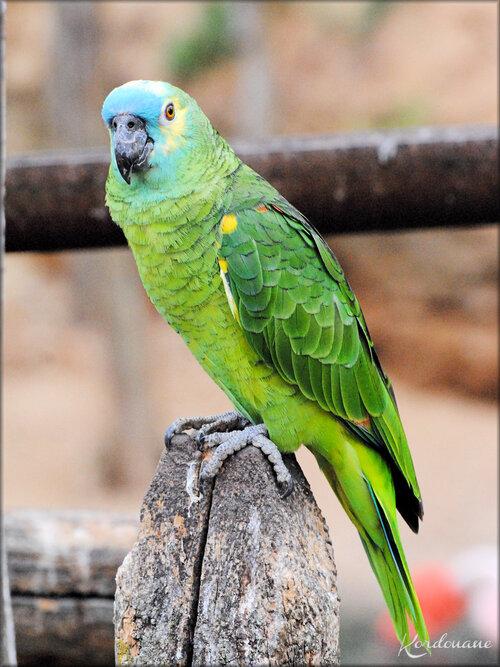Amazone à front bleu (zoo de Doué la Fontaine)