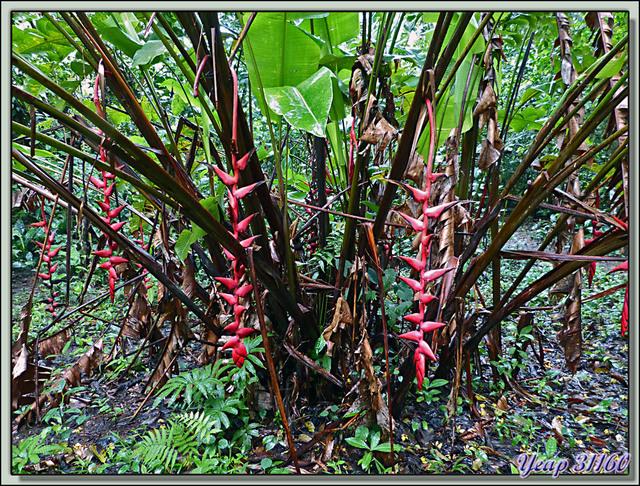 Blog de images-du-pays-des-ours : Images du Pays des Ours (et d'ailleurs ...), Héliconia - Isla Bastimentos - Bocas Del Toro - Panama