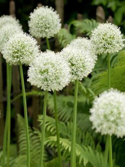 Fleus cultivées : Ail décoratif