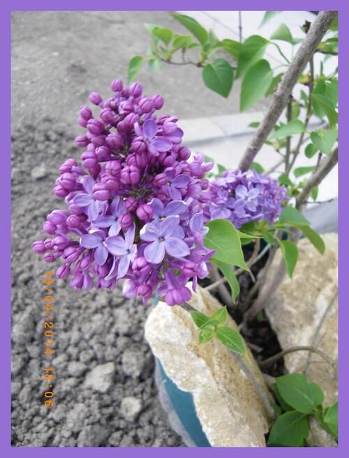 lilas, fleurs