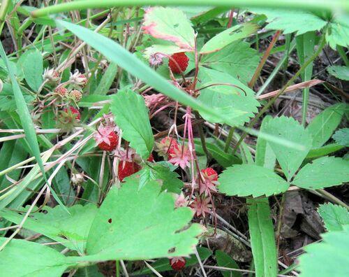 Confiture de fraises des champs