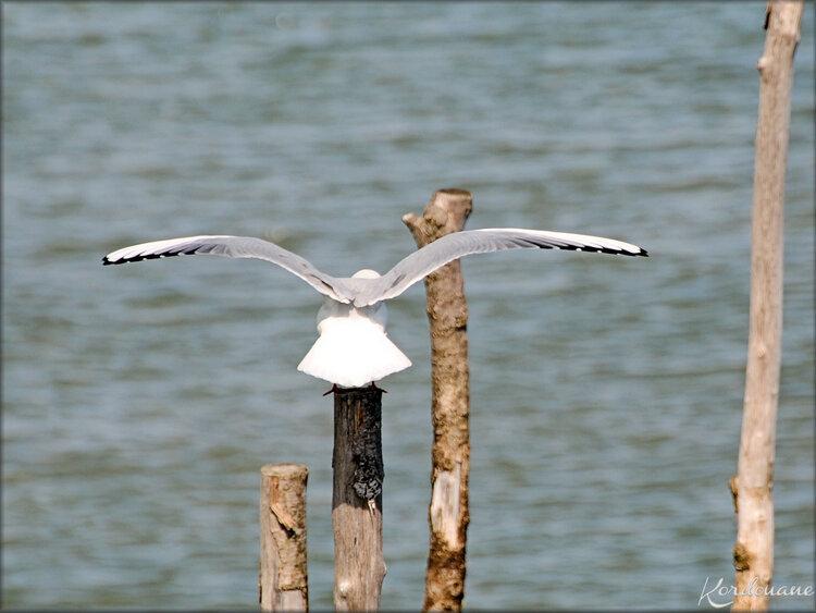 Oiseaux marins du Bassin d'Arcachon (Cap Ferret)