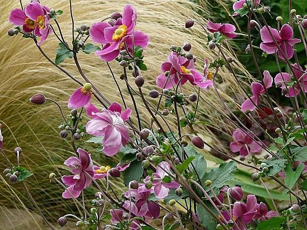 Anemones-du-japon--4-09-12-P1300778.JPG