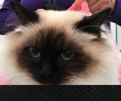 Accueil - Bienvenue à tous les amoureux du chat sacré de Birmanie