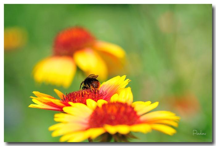 Sur une fleur de Gaillarde