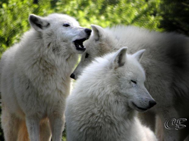 Parc de Ste-Croix meute de loups blancs
