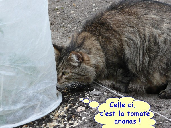 tomates 2013 06