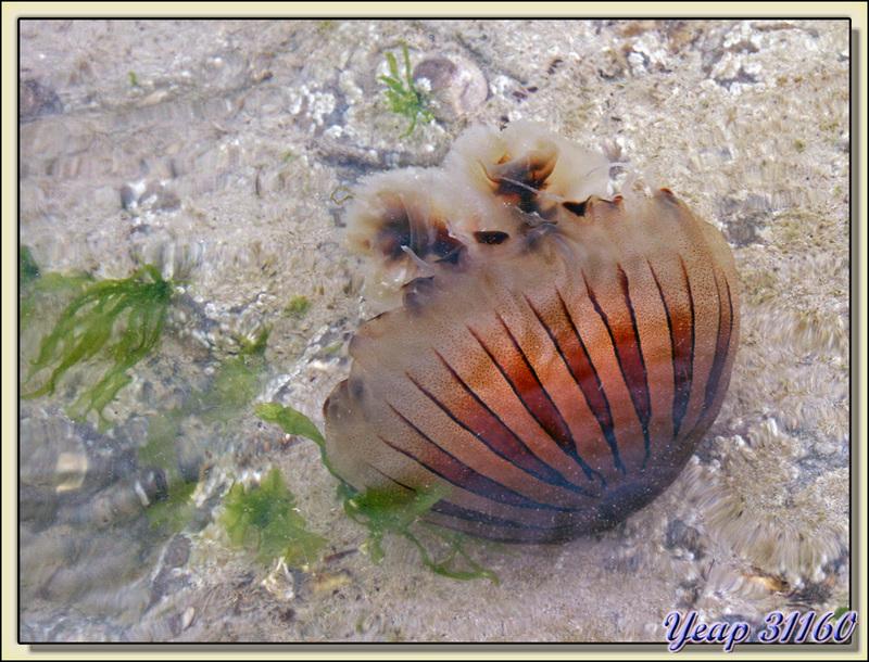 Lampe mandarine de mer, en fait une belle méduse - La Couarde-sur-Mer - Ile de Ré - 17