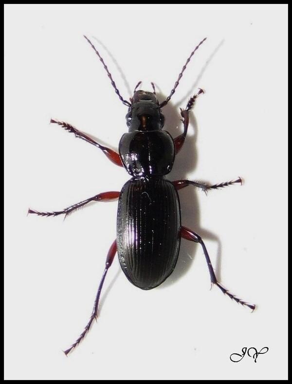 Pterostichus madidus