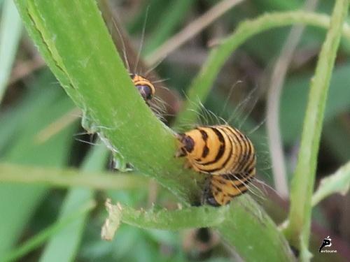 Écaille du séneçon, ou Goutte de sang  (Tyria jacobaeae)