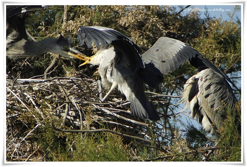 Hérons cendrés - Ardea cinerea - Grey Heron (Pélécaniformes)