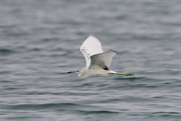 AIgrette bleue - Île aux oiseaux
