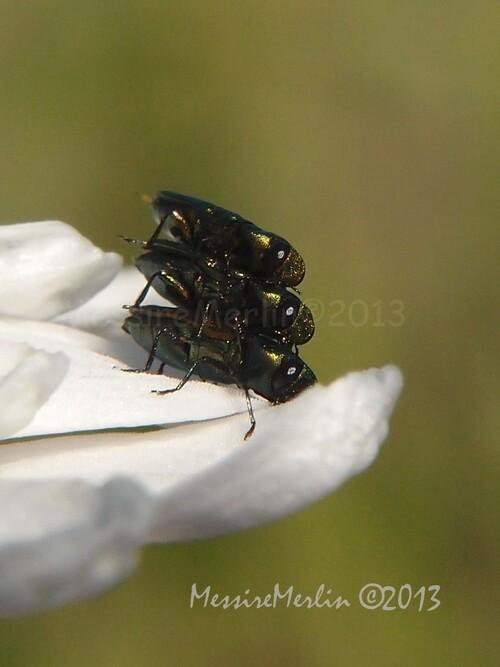 Coléoptères : Buprestidae, Anthaxia