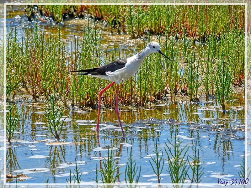 Échasse blanche, Black-winged Stilt (Himantopus himantopus) - Le Martray - Ars-en-Ré - Île de Ré - 17