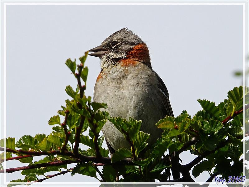 Bruant chingolo, Rufous-collared Sparrow (Zonotrichia capensis) - Peninsula de Magallanes - Patagonie - Argentine