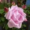 rosier Mme Caroline Testout Clg - mai 2014 - première rose