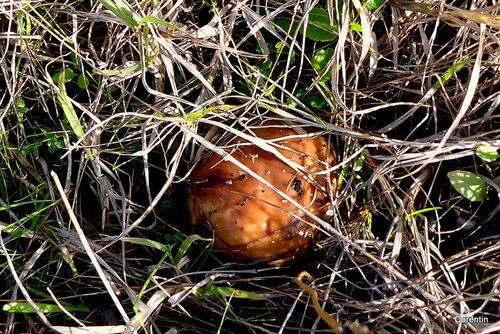 Des champignons dans l'herbe !