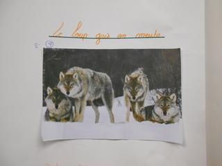 Exposé sur le loup gris