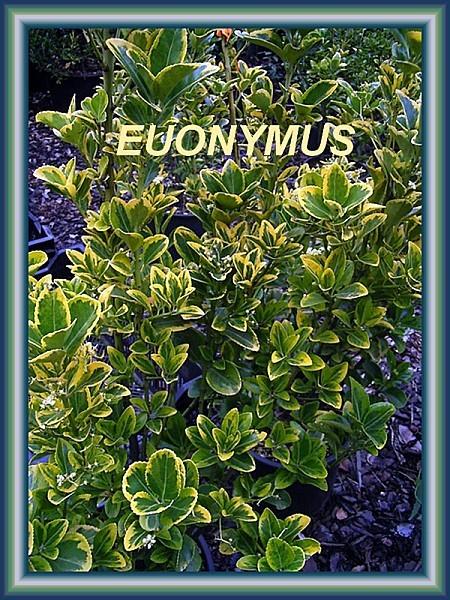 euonymus japonica susan