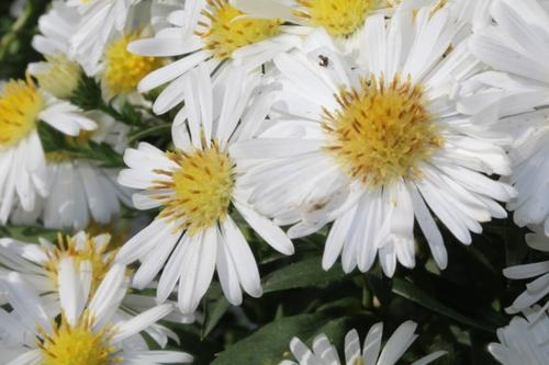 Les asters : un paradis pour les abeilles en cette saison de disette