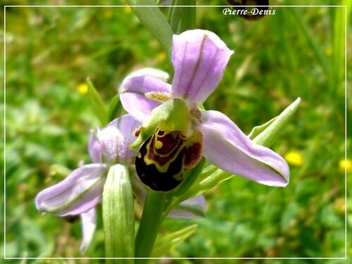 quelques orchidées de pierre.denis ....