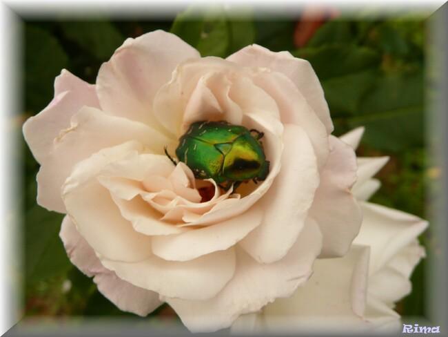 Les roses pour Jacques.