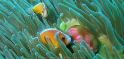 Poissons Clowns - Amphiprion perideraion - Cliquer pour agrandir