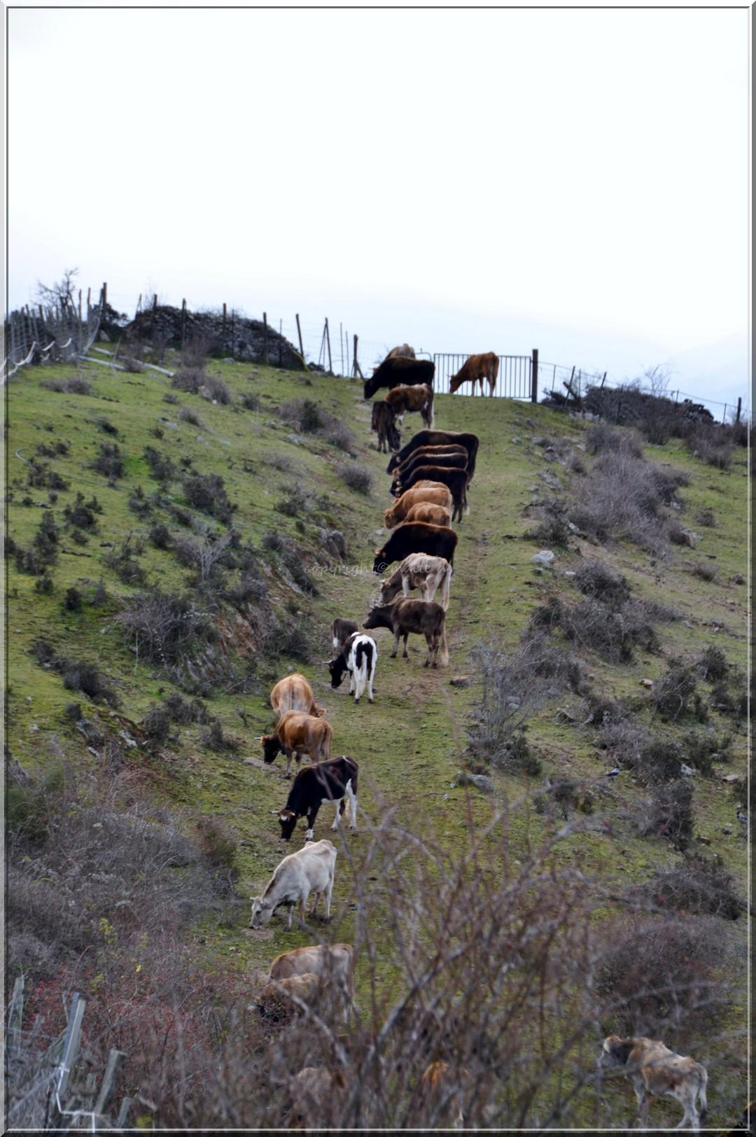 Alignement de vaches 29-01-2014