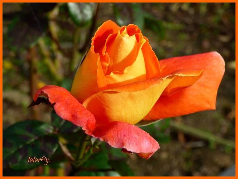 Encore quelques roses au jardin....