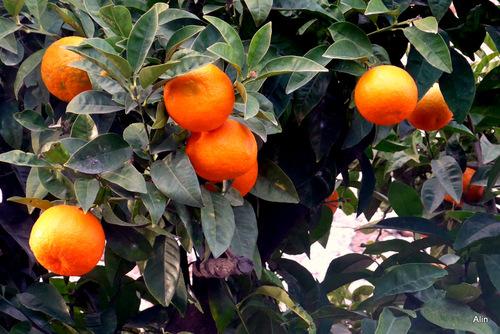 Des oranges sur l'arbre