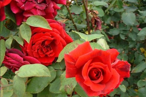 Roses différentes
