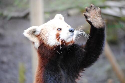 Ying, le mâle Panda Roux.