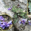Oxytropis des Pyrénées (Oxytropis pyrenaica)