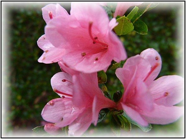azalee-rose--encadree.jpg