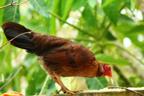Lézards et rouge gorges femelle puis la poule