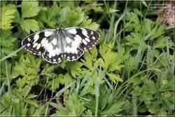 Papillons de jour Le Demi-Deuil Melanargia galathea Nymphalidae