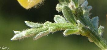 Genista pulchella subsp. villarsiana - genêt de Villars