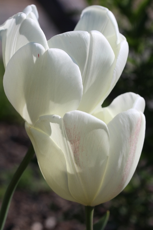 Instant tulipes